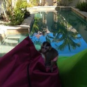 Poo is an abandoned monkey from the wild and is adopted by DHM surf camp lombok